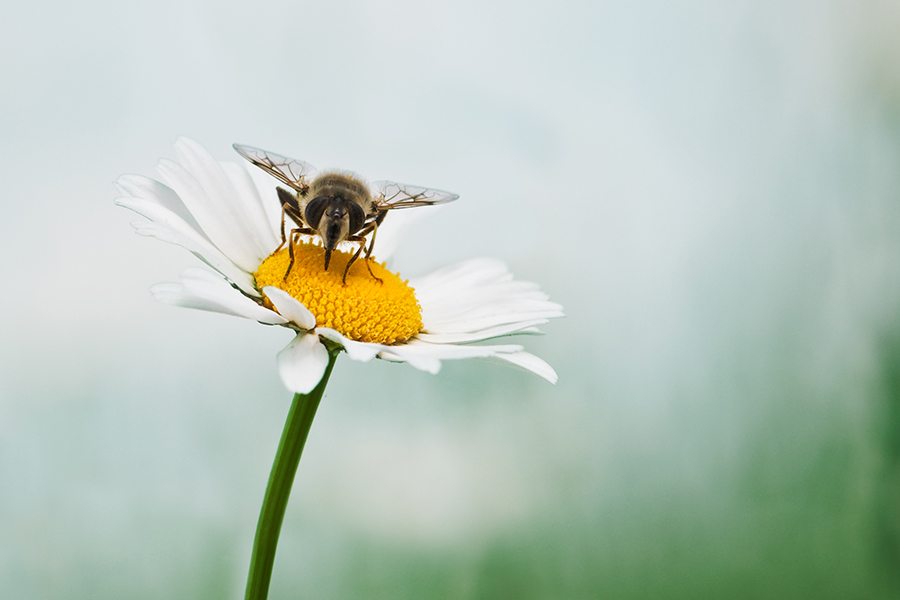 Bee - Chamomile - Flower - Chamomile Therapies - Clinical Aromatherapy, Berkhamsted