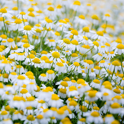 Chamomile - Field - Flowers - Chamomile Therapies - Clinical Aromatherapy, Berkhamsted