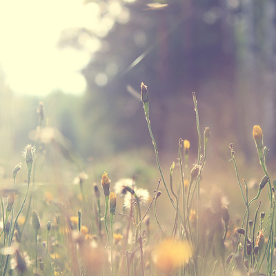 Field - Flowers - Sun - Dawn - Chamomile Therapies - Clinical Aromatherapy, Berkhamsted