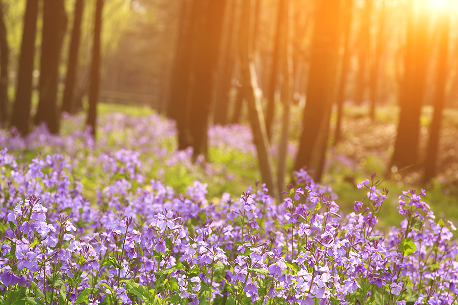 Flowers - Field - Woods - Dawn - Hills - Sun - Nature - Chamomile Therapies - Clinical Aromatherapy, Berkhamsted