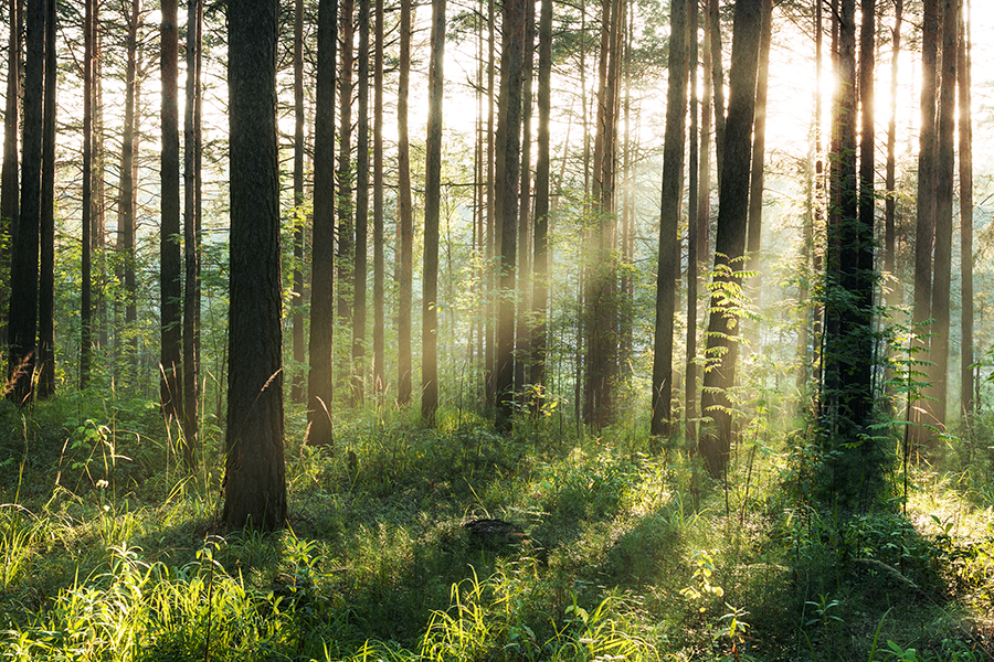 Woods - Dawn - Sun - Nature - Trees - Chamomile Therapies - Clinical Aromatherapy, Berkhamsted